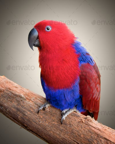 Ecelectus parrot