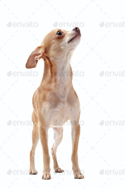 short hair chihuahua