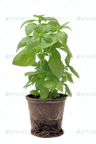 basil in pot isolated