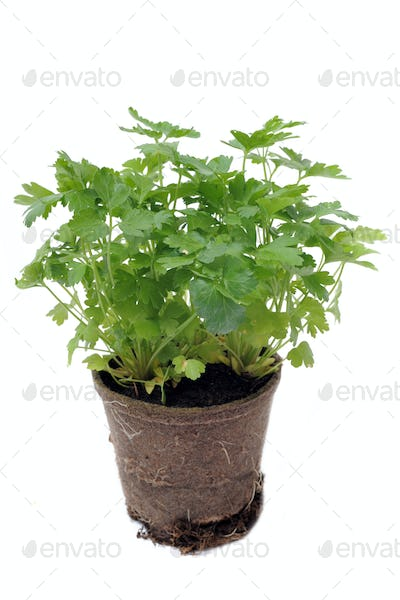 parsley in pot isolated