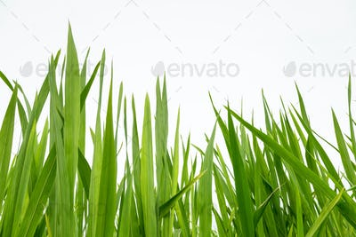 fresh green grass isolated