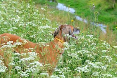 Portrait of Kazakh greyhound Tazi