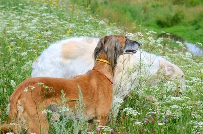 Two greyhound dogs in wildflowers