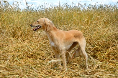 Kazakh greyhound Tazi