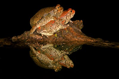 Mating red toads