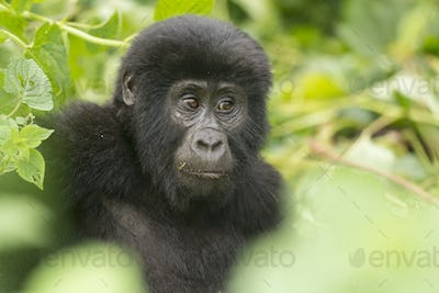 A Young Gorilla in the Forest