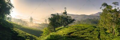 Panorama of Beautiful Sunrise Tea Plantation