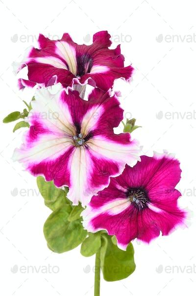 Purple petunia flowers