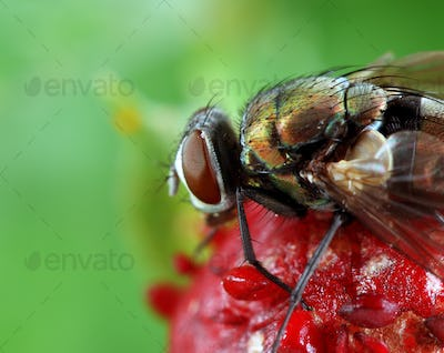 Fly on Wild Strawberry