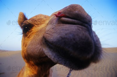 Cheeky Happy Camel in the Desert