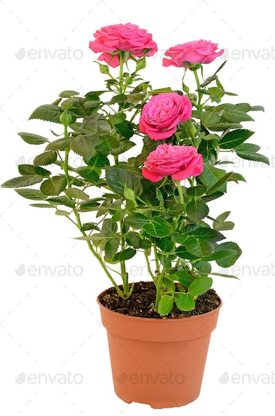 Pink Rose in the flower pot