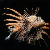 Red lion fish on black background