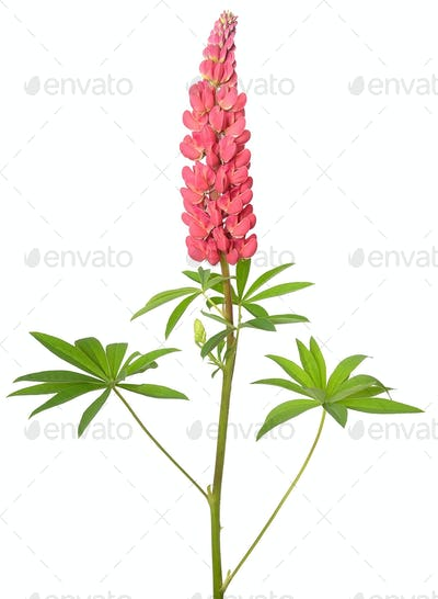 Lupinus flower