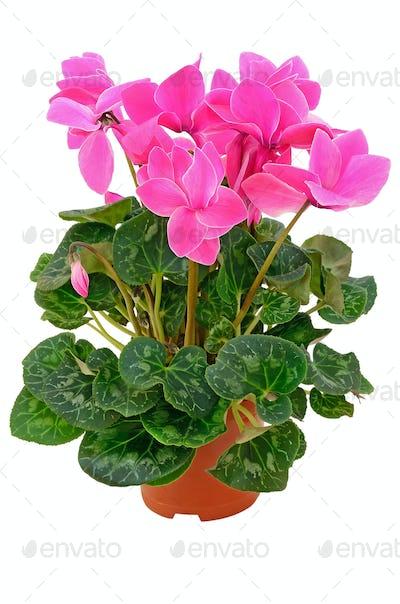Cyclamen in a flowerpot