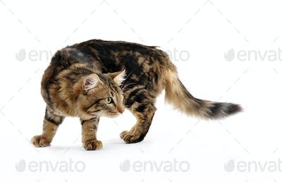 young norwegian cat