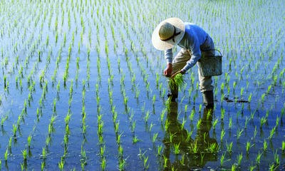Japanese Farmer Tending The Rice Paddy