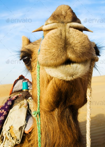 Happy Camel Smiling in the Desert