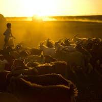 Little Boy Herding Goats at Dusk