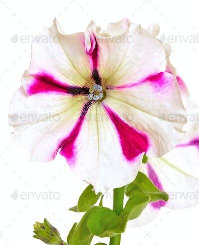 White with purple petunia flower