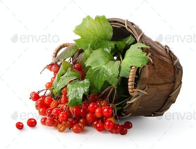Viburnum in a basket