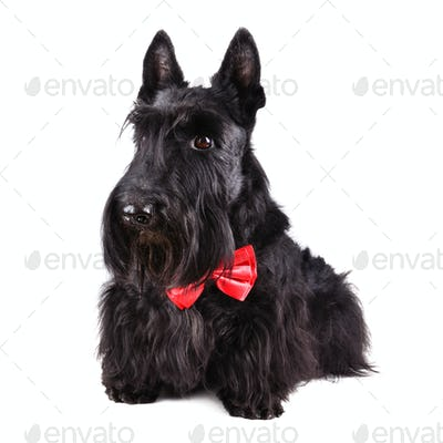 Scotch terrier