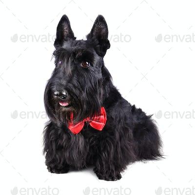 Black dog in tie