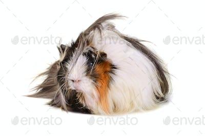 Big guinea pig