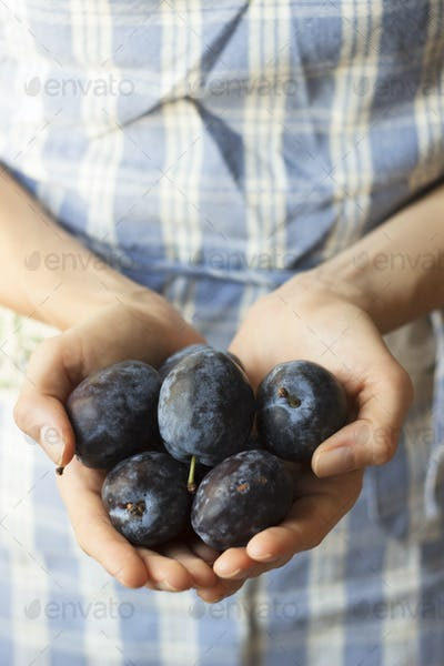 Hands holding organic plums