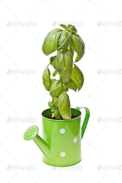 Growing young sweet basil plants