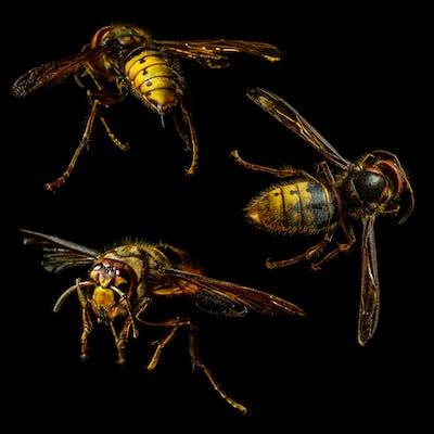 Group of hornet