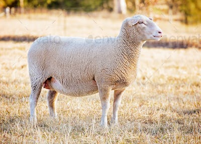 white suffolk sheep