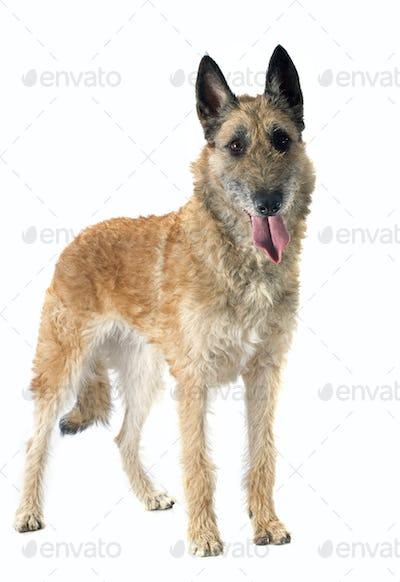 belgian shepherd laekenois
