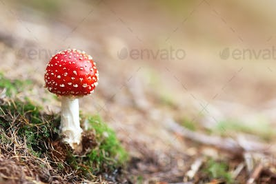 Fly Agaric red and white poisonous mushroom in the forest