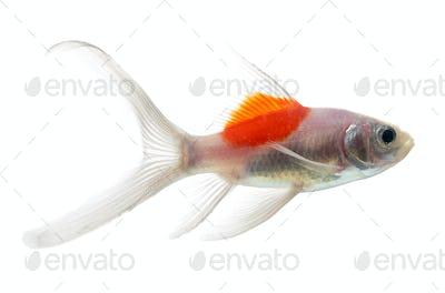 Gold fish Isolation on the white background