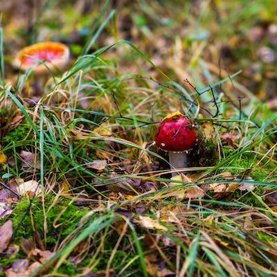 amanita muscaria. Amanita poisonous mushroom. mushroom in the gr