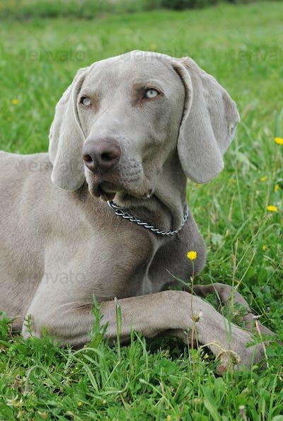 puppy weimaraner dog