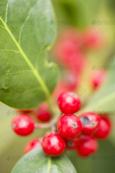 Red berries of undergrowth bushes