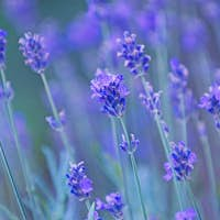 Nature background - lavender