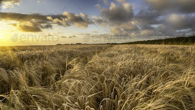 A field of golden ripe barley in the Cornish countryside