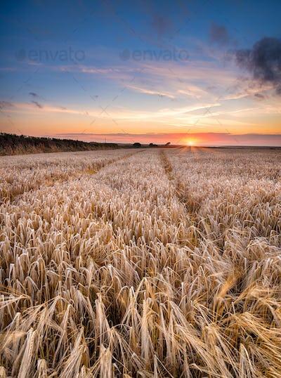 Barley Field in the Cornish Countryside
