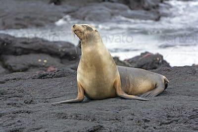 Sea Lion on a Lava field
