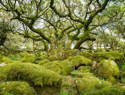 Wistman's Wood on Dartmoor