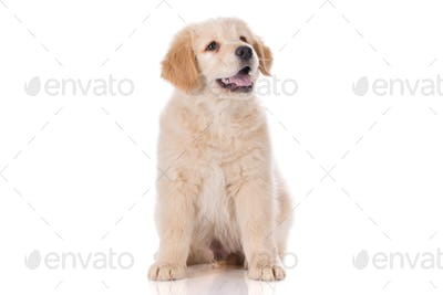 Golden Retriever sitting with mouth semi open