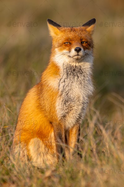 Red fox (Vulpes vulpes) sitting on hind legs