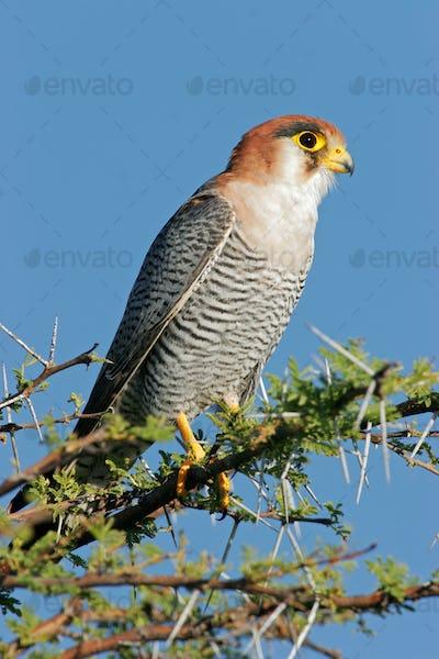 Rednecked falcon