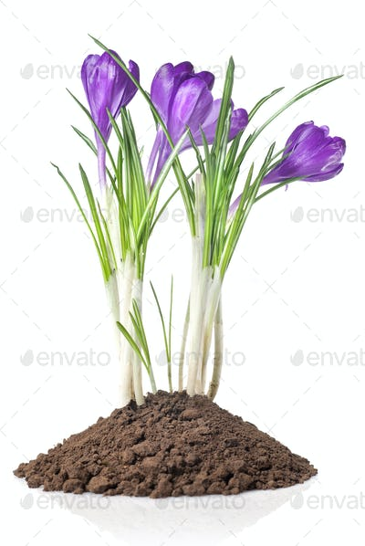 crocus in earth isolated on white
