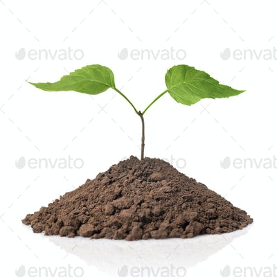 green plant with leaves in earth isolated on white
