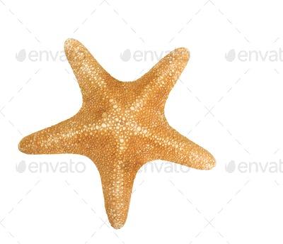 orange seastar isolated