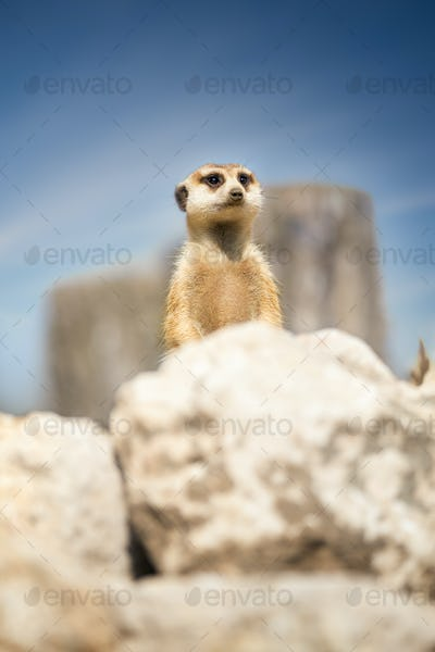 Meerkat peeking behind rock