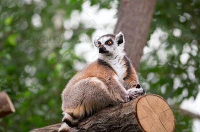 Lemur looks out with big
